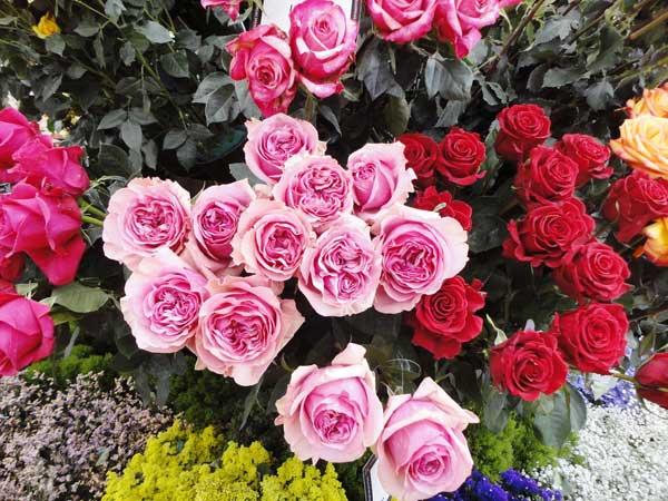 Las mejores rosas son de Tabacundo