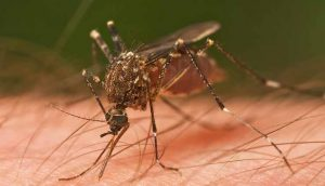 Mosquito, Animal, Picadura,