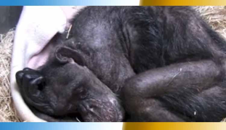 chimpanse, zoológico de Holanda, Curiosidades,