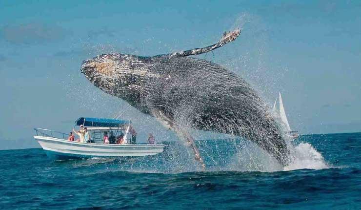 Temporada de avistamiento de ballenas inicia en Ecuador