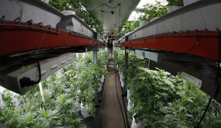 Se duplica cultivo de marihuana ilegal en Colorado en 2017