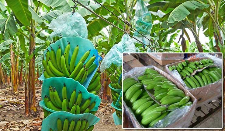 La caja de banano fijará su precio a $6.30 para 2019