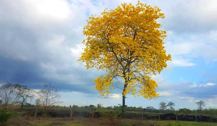 Turistas son atraídos por el amarillo de los guayacanes que embellecen sectores del Guayas