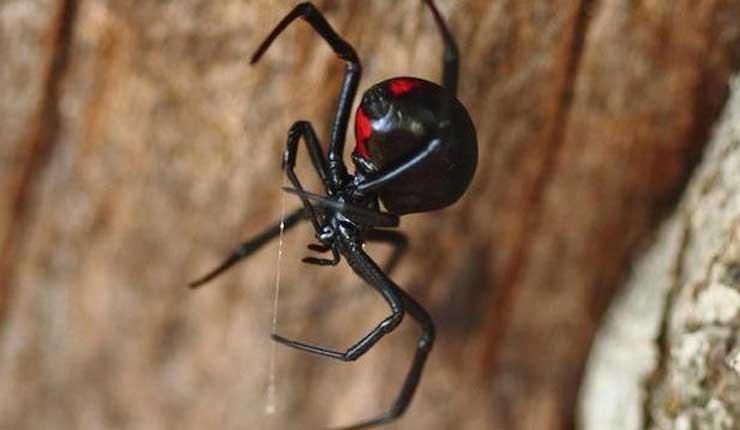 Descubren en Sudáfrica la especie de viuda negra más mortífera del mundo